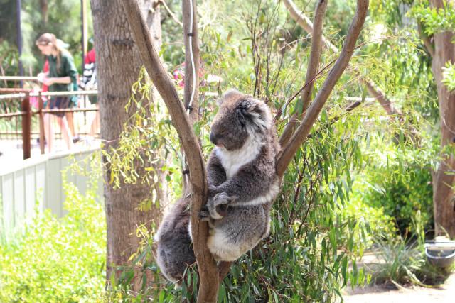 動物園でコアラ